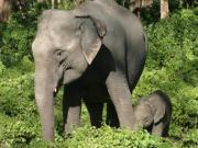 Why relocating badly behaved wild elephants doesn't work