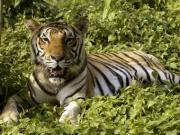 Poachers aren't the only threat: Protected area size puts tigers in danger, encroachment ups risk