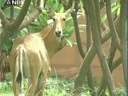 Culling Nilgai: To manage wildlife conservation and human interests, research is key