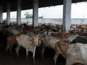 State-sponsored vigilantism on beef ban allows gau rakshaks to further their 'business'