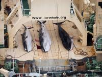Japan whaling future in doubt after UN court ruling