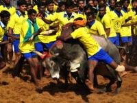 Jallikattu gets Centre nod: Bull taming is cruelty at its best, govt is using issue for electoral win in TN