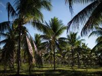 A tree or not a tree? Goa rows over coconut status after officials ruled that they were not trees