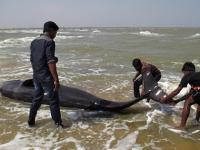Whales beached on Tamil Nadu shore: 45 die as fishermen struggle to save the rest