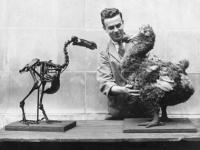 Dodos were smart, not stupid as commonly thought: Research