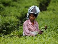 Not a nice cuppa: Labour, production costs affect tea industry, many estates in Kerala shut down