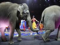 Freedom at last! Elephants perform for final time at Ringling Bros Circus