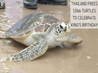 Watch: Thailand frees 1,066 turtles to celebrate King's birthday