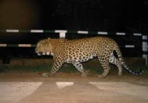 Leopard enters school in Bengaluru, three injured