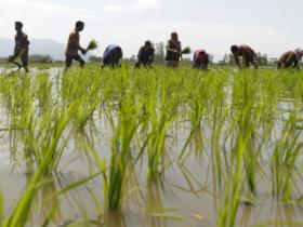 Climate change will adversely hit rice productivity, say Indian scientists
