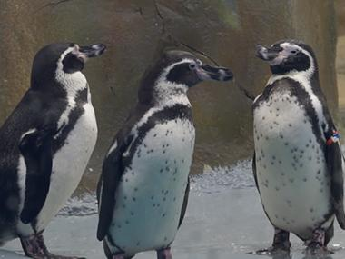WATCH: As Byculla Zoo's Humboldt Penguins go on display, here's a sneak peek