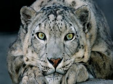 Snow Leopard is no longer an endangered species