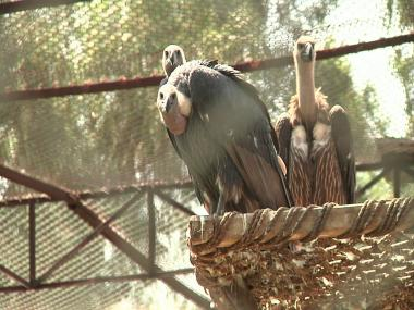 Conservationists fight to save vultures in Pakistan