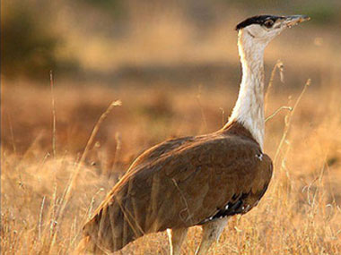 If policy makers address the environment issues related to preserving the GIB, it can solve many problems related to other species. The need to act is now before we lose the Bustard. Pic: change.org