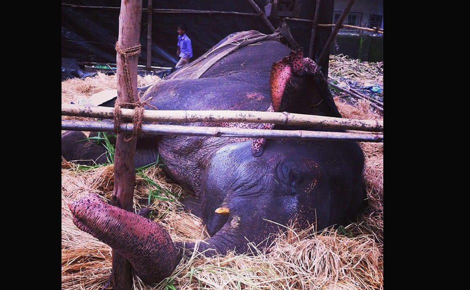 Bijlee, the ailing elephant who collapsed on the streets of Mumbai is receiving medical care (note: It was initially mistakenly written that she is recovering slowly, however, she isn't and it might be possible that she might not survive). Images courtesy: Jason Menezes. Written by: Shormistha Mukherjee