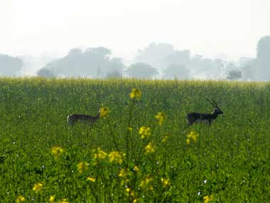 Blackbucks in a field. Image courtesy: Jay Mazoomdar