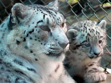 File image of a snow leopard at the zoo. AFP.