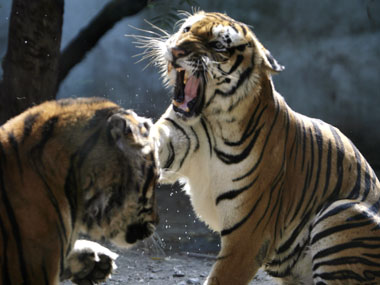 We need to save the tiger from ourselves and our thoughtless acts. Reuters