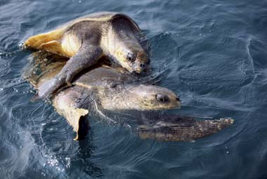 File image of Olive Ridley turtles in the Bay of Bengal. Reuters