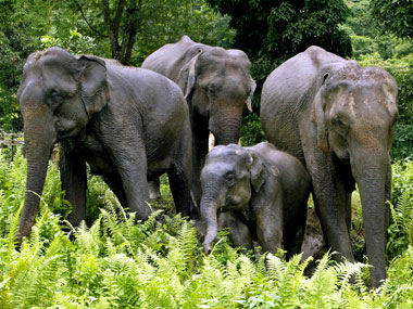 Elephants in Kaziranga. Agencies.