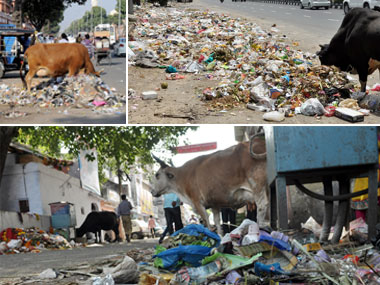 Plight of cows in Jaipur.