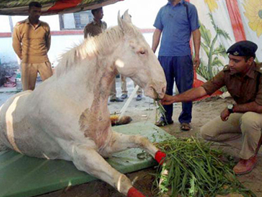 The wounded horse Shaktiman has had his leg amputated due to gangrene. PTI