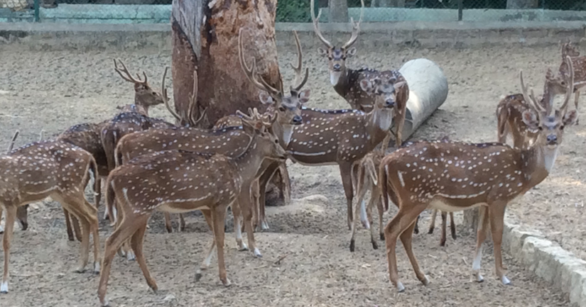 Spotted deer in the zoo. Firstpost/Janaki Murali