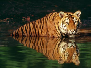 MP has lost 16 tigers in the last year. Reuters