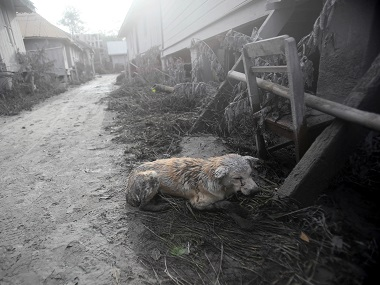 An apparently injured dog covered in volcanic ash crouches down in an empty village after it was abandoned following the eruption of Mt. Sinabung in Indonesia. AP