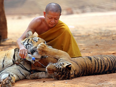 """File image of a Thai Buddhist monk giving water to a tiger from a bottle at the """"Tiger Temple"""" in Saiyok district in Kanchanaburi province. AP"""