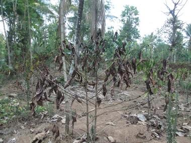 Coffee plants dried and burnt in Wayanad