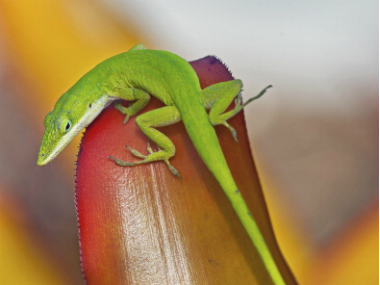 A green anole lizard. Lizards are known to be able to drop their tails off to avoid capture, but how they regrow a new tail has remained a mystery. Getty images.