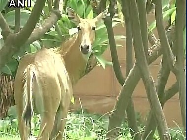 The Nilgai near the Parliament House. Image courtesy: ANI/Twitter