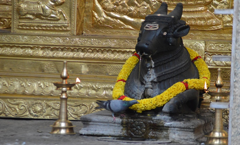 A pigeon drinking from the natural spring that comes through the mouth of the Nandi in the Nandi Teertha temple. Photo by Hita Unnikrishnan