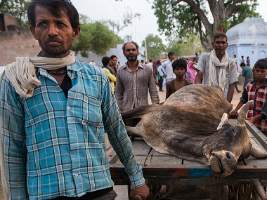 Bundelkhand is in the midst of a cattle famine. An average of 30 deaths per day, there could be over three lakh cattle deaths due to drought in May 2016. Jayati Saha.