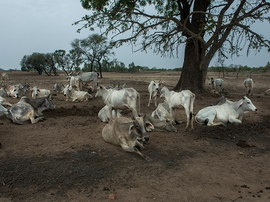 In Bundelkhand drought, the practice of Anna Pratha – abandoning the domestic cattle, leads to the starvation and ultimately the death of the cattle. Jayati Saha.