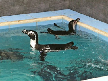 Eight Humboldt penguins were brought to the Byculla zoo. Image courtesy: CNN-News18