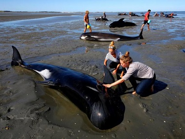 Volunteers try to assist stranded pilot whales in Golden Bay at New Zealand's South Island. Reuters