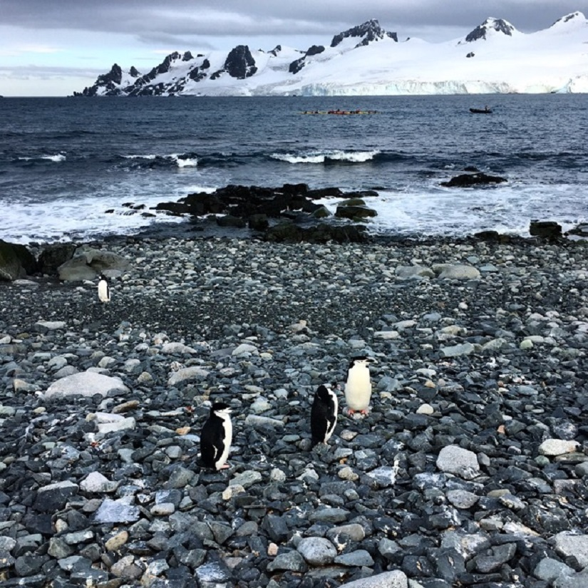 Chinstrap Penguins on Halfmoon Island in the South Shetlands