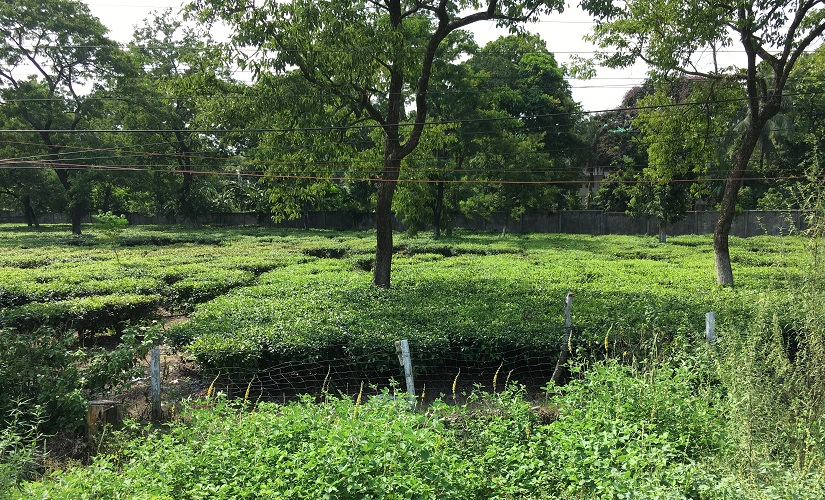 Abandoned tea plantations in Darjeeling. Image procured by author