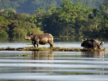 File image of rhinoceroses at the flooded Kaziranga National Park in Assam. Reuters