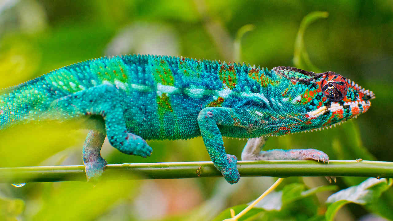 Chameleon's can change the colour of their skin and scientists have found a way to recreate that. Image credit: Flickr/Tambako The Jaguar