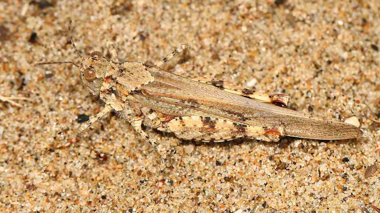 Seaside_Grasshopper_-_Trimerotropis_maritima,_Point_Pelee_National_Park,_Leamington,_Ontario