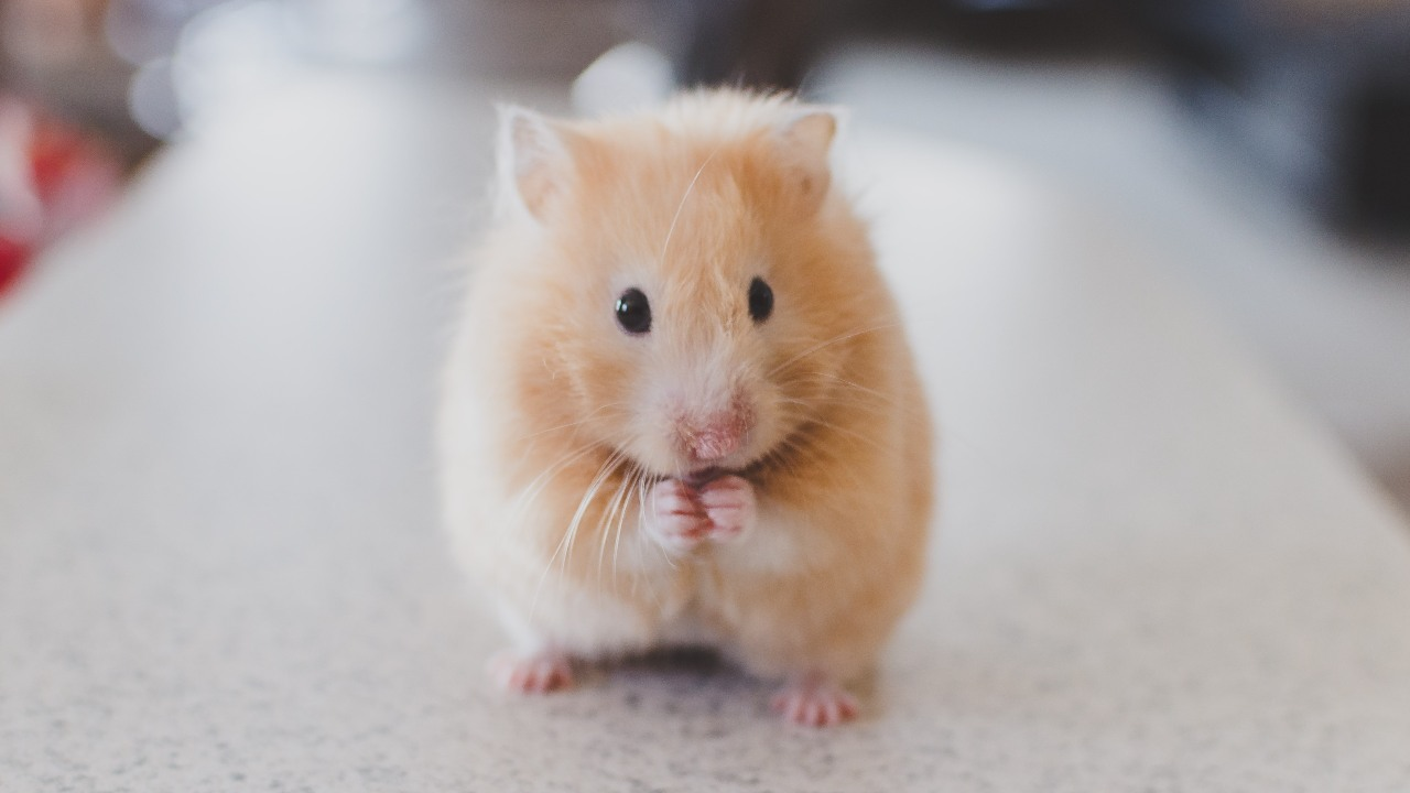 The researchers chose to hose to test on hamsters as they develop a lung pathology similar to a mild covid-19 infection in humans.