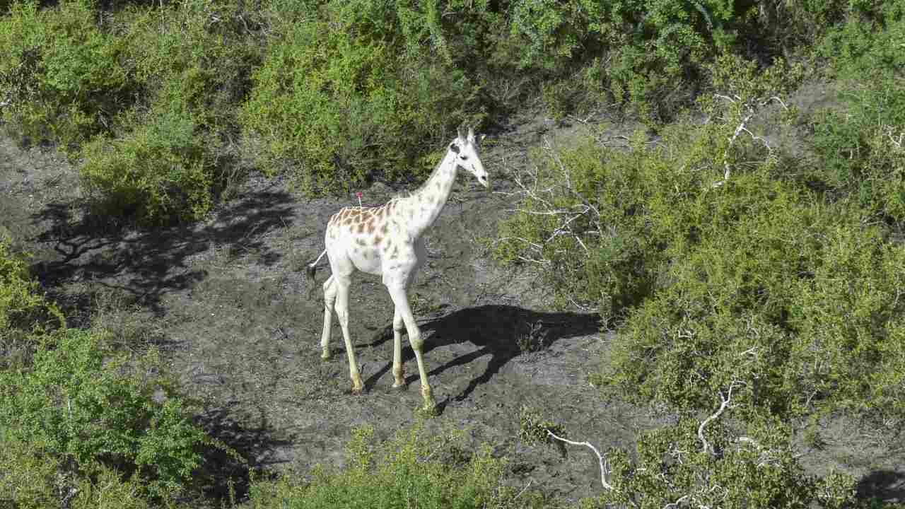 The world's last white giraffe has been fitted with a GPS tracking device. AP